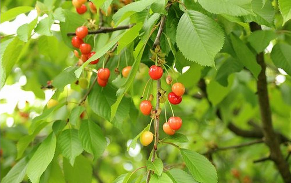 Taille des fruitiers à noyaux